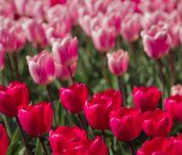 Virtual Tulip Gardens: jardín botánico